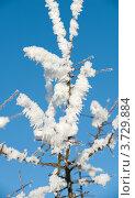 Купить «Заснеженная ветка дерева», фото № 3729884, снято 8 декабря 2010 г. (c) Татьяна Кахилл / Фотобанк Лори
