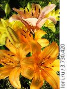 Купить «Букет лилий», фото № 3730420, снято 11 июля 2012 г. (c) Виктор Топорков / Фотобанк Лори
