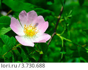 Шиповник цветёт. Стоковое фото, фотограф Артур Худолий / Фотобанк Лори
