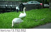 Купить «Лебеди и их птенцы на зеленой траве», видеоролик № 3732552, снято 28 ноября 2010 г. (c) Losevsky Pavel / Фотобанк Лори