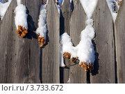 Купить «Шишки хмеля на заборе», фото № 3733672, снято 17 января 2008 г. (c) Анна Омельченко / Фотобанк Лори