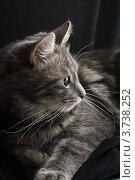 Купить «Серая пушистая кошка», фото № 3738252, снято 30 ноября 2007 г. (c) Сурикова Ирина / Фотобанк Лори