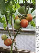 Красные и зелёные помидоры созревают в теплице. Стоковое фото, фотограф Оксана Мурзина / Фотобанк Лори