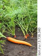 Морковь растет на грядке. Стоковое фото, фотограф Оксана Мурзина / Фотобанк Лори