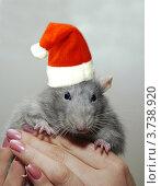 Купить «Крыса в шапочке Санта Клауса», фото № 3738920, снято 21 декабря 2007 г. (c) Олег Жуков / Фотобанк Лори