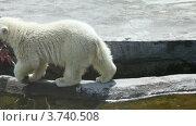 Купить «Большой белый медведь с добычей в зоопарке», видеоролик № 3740508, снято 3 августа 2011 г. (c) Losevsky Pavel / Фотобанк Лори