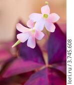 Купить «Цветы кислицы крупным планом», фото № 3745608, снято 8 апреля 2012 г. (c) Максим Пименов / Фотобанк Лори