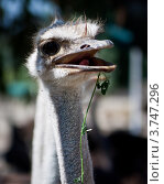 Птица Страус. Стоковое фото, фотограф Elena Guseva / Фотобанк Лори