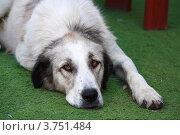 Купить «Старый пёс лежит на траве», эксклюзивное фото № 3751484, снято 3 августа 2012 г. (c) Вероника / Фотобанк Лори