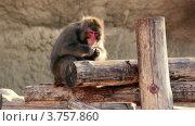 Купить «Обезьяна сидит на бревнах и ест что-то», видеоролик № 3757860, снято 10 ноября 2011 г. (c) Losevsky Pavel / Фотобанк Лори