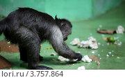 Купить «Обезьяна сидит у стены и ест», видеоролик № 3757864, снято 10 ноября 2011 г. (c) Losevsky Pavel / Фотобанк Лори