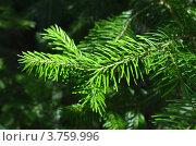 Купить «Ветка пихты», фото № 3759996, снято 11 августа 2012 г. (c) Андрей Паршаков / Фотобанк Лори