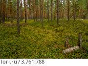 Сосновый лес. Стоковое фото, фотограф Коршунов Владимир / Фотобанк Лори