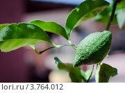 Лимон на ветке. Стоковое фото, фотограф Elena Guseva / Фотобанк Лори