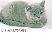 Купить «Голубой кот лежит и смотрит по сторонам», видеоролик № 3774688, снято 30 января 2012 г. (c) Losevsky Pavel / Фотобанк Лори