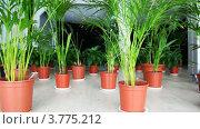 Купить «Растения семейства пальмовые в горшках на этаже в зале», видеоролик № 3775212, снято 28 января 2012 г. (c) Losevsky Pavel / Фотобанк Лори
