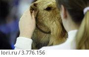 Купить «Девушка массирует уши ирландского терьера», видеоролик № 3776156, снято 16 февраля 2012 г. (c) Losevsky Pavel / Фотобанк Лори