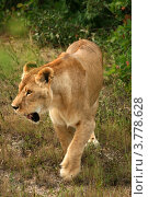 Купить «Лев идет (Panthera leo)», эксклюзивное фото № 3778628, снято 12 августа 2012 г. (c) Щеголева Ольга / Фотобанк Лори