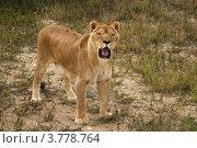 Купить «Лев», эксклюзивное фото № 3778764, снято 12 августа 2012 г. (c) Щеголева Ольга / Фотобанк Лори