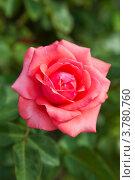 Цветок алой розы. Стоковое фото, фотограф Gagara / Фотобанк Лори