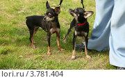 Купить «Две собаки породы той-терьер ходят по зеленой лужайке», видеоролик № 3781404, снято 30 июля 2012 г. (c) Losevsky Pavel / Фотобанк Лори