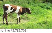 Корова ест траву на поле. Стоковое видео, видеограф Максим Шатохин / Фотобанк Лори