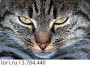 Купить «Европейская короткошерстная кошка», фото № 3784440, снято 1 мая 2012 г. (c) Светлана Самаркина / Фотобанк Лори
