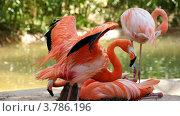 Фламинго. Стоковое фото, фотограф Александр Иванович Кочунов / Фотобанк Лори