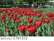 Тюльпаны на клумбе (2012 год). Стоковое фото, фотограф Анастасия Герасимова / Фотобанк Лори