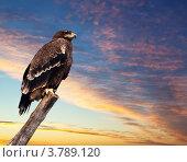 Купить «Степной орёл на фоне закатного неба», фото № 3789120, снято 3 марта 2012 г. (c) Яков Филимонов / Фотобанк Лори