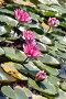 Ярко-розовые лилии, фото № 3794468, снято 15 августа 2012 г. (c) Наталья Волкова / Фотобанк Лори