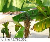 Купить «Цветущий банан растет около дороги», фото № 3795356, снято 23 июля 2012 г. (c) Юрий Серебряков / Фотобанк Лори