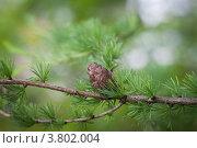 Шишка лиственницы. Стоковое фото, фотограф Дмитрий Ворона / Фотобанк Лори