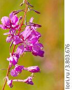 Цветок иван-чая. Стоковое фото, фотограф Оксана Кабрина / Фотобанк Лори