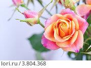 Купить «Роза с каплями воды», фото № 3804368, снято 3 сентября 2012 г. (c) Типляшина Евгения / Фотобанк Лори
