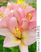 Купить «Розовые лилии», эксклюзивное фото № 3804972, снято 16 июля 2012 г. (c) Юрий Морозов / Фотобанк Лори