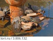 Черепахи греются на солнце на камнях искусственного островка пруда. Стоковое фото, фотограф Татьяна Скрипниченко / Фотобанк Лори