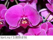 Лиловые орхидеи крупным планом. Стоковое фото, фотограф Роберт Ивайсюк / Фотобанк Лори