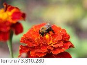Шмель собирает нектар. Стоковое фото, фотограф Вячеслав Яковлев / Фотобанк Лори