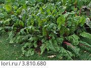 Купить «Столовая свёкла на грядке (лат. Beta vulgaris)», эксклюзивное фото № 3810680, снято 13 августа 2012 г. (c) lana1501 / Фотобанк Лори