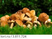 Белые грибы на траве. Стоковое фото, фотограф Владимир Сазонов / Фотобанк Лори