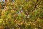 Стробилы - мужские розовые шишки сосны обыкновенной в форме колоса (лат. Pinus sylvestris), фото № 3813072, снято 13 июня 2009 г. (c) Виктория Катьянова / Фотобанк Лори