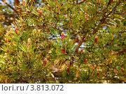 Купить «Стробилы - мужские розовые шишки сосны обыкновенной в форме колоса (лат. Pinus sylvestris)», фото № 3813072, снято 13 июня 2009 г. (c) Виктория Катьянова / Фотобанк Лори