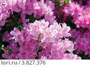 Купить «Ветка бурно цветущего розового рододендрона (Rhododendron), малая глубина резкости», фото № 3827376, снято 2 мая 2012 г. (c) Ольга Липунова / Фотобанк Лори