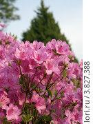 Купить «Ветка бурно цветущего розового рододендрона (Rhododendron) (малая глубина резкости)», фото № 3827388, снято 23 апреля 2009 г. (c) Ольга Липунова / Фотобанк Лори