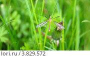 Комар, макро. Стоковое фото, фотограф Олег Цыганков / Фотобанк Лори