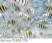 Полосатые рыбки. Стоковое фото, фотограф Марат Сафаров / Фотобанк Лори