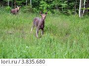 Лосята на лесной поляне. Стоковое фото, фотограф Мария Кобылина / Фотобанк Лори
