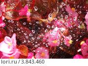 Паутина с каплями росы на розовых цветах. Стоковое фото, фотограф Бугаенко Татьяна / Фотобанк Лори