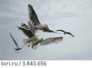 Чайки борются за еду. Стоковое фото, фотограф Денис Гоппен / Фотобанк Лори